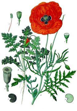 blé , coquelicots . dans peinture fleurs 250px-Papaver_rhoeas_-_Köhler–s_Medizinal-Pflanzen-1011