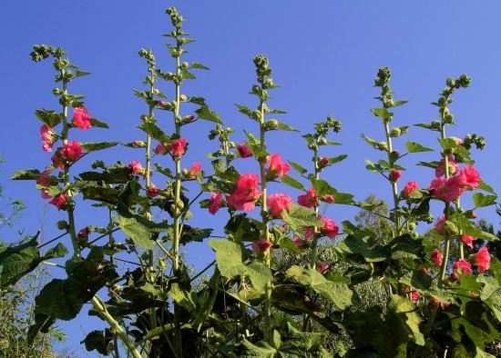 rosestremieresmontaurouxfrance139085801510849701.jpg
