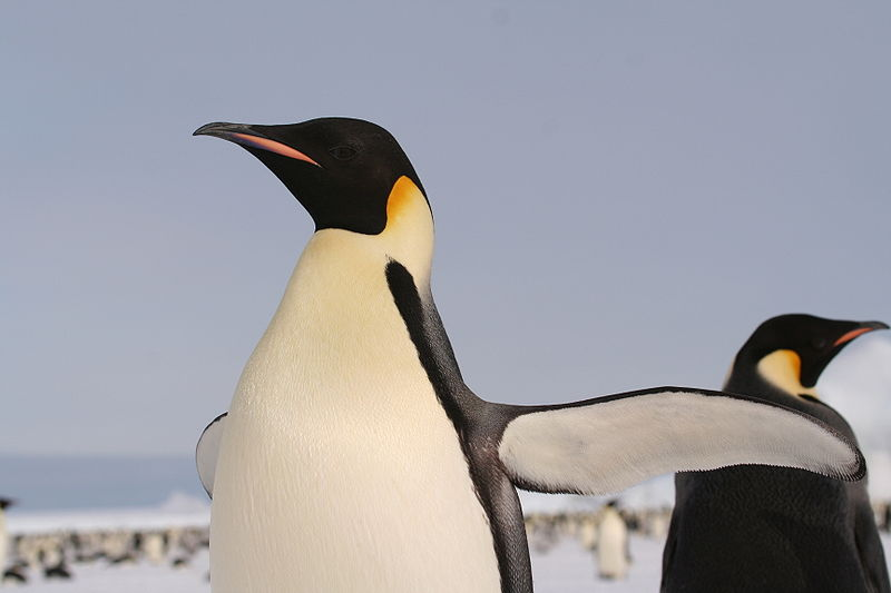 800pxemperorpenguin200525921.jpg