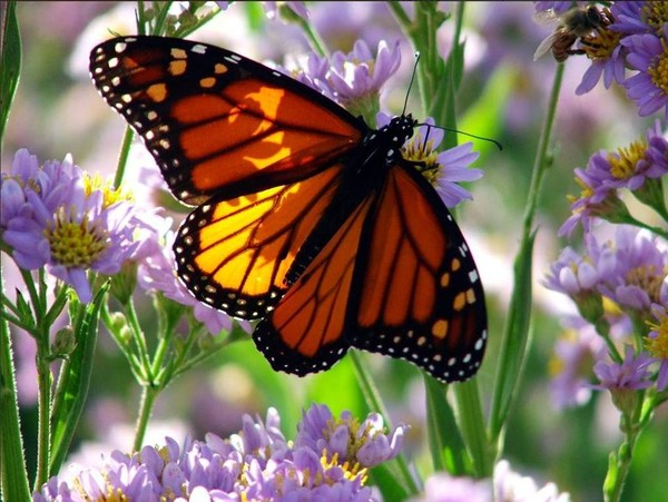1206270243318472211 photo papillon