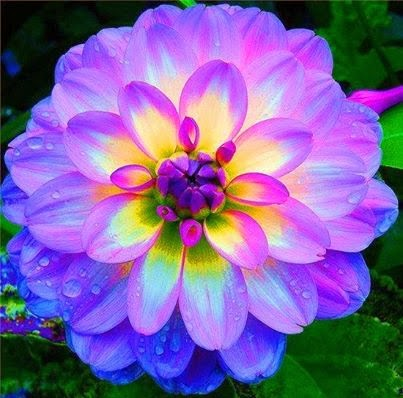 Dahlia - One of the most beautiful flowers ever![2]