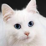 220px-WhiteCat[1]