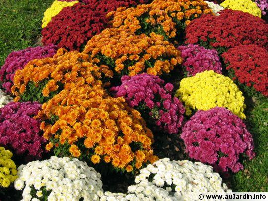 chrysanthemum-hortorum-540x405[1]