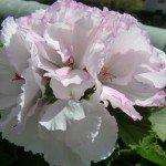 fleurs du balcon chazière